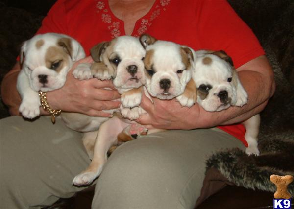 Dog For Sale Wonderful Male And Female French Bulldog Puppies | Dog ...