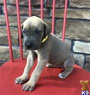 great dane puppy posted by dimofap