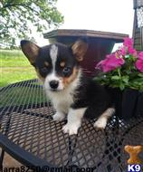 pembroke welsh corgi puppy posted by dodedeg667