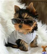 yorkshire terrier puppy posted by doferag491