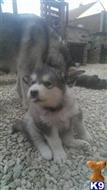 alaskan malamute puppy posted by Dog training plus