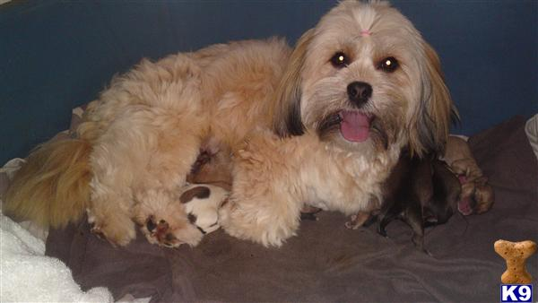 find ebay puppies from search new are west lhasa 8