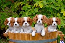 king charles spaniel puppy posted by dohmbinn
