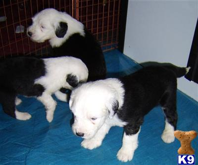 dolcie Picture 1 Old English Sheepdog Kent