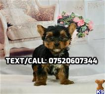 yorkshire terrier puppy posted by donaldrisky