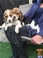 beagle puppy posted by doncast11