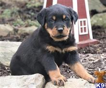 rottweiler puppy posted by Donyahajiahmad5