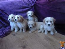 bichon frise puppy posted by Doodlelady