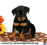 rottweiler puppy posted by doreenn