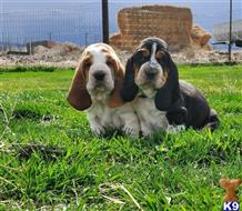 basset hound puppy posted by dorothypaloma86765453