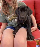 great dane puppy posted by doxecem