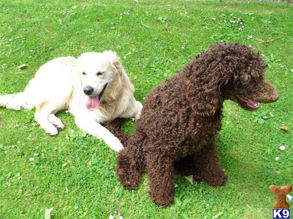 goldendoodle dogs. Goldendoodles Puppies for Sale