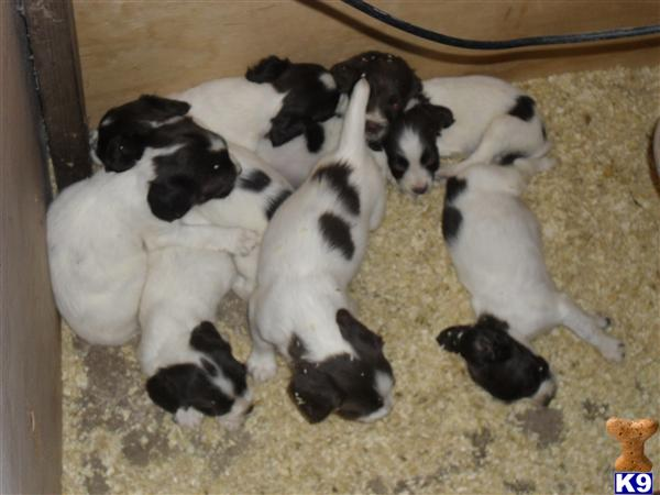 Dunnocksfold pups Picture 1