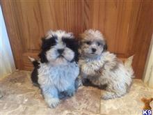 shih tzu puppy posted by dw8hssl