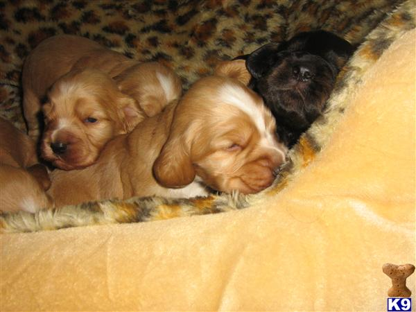 golden retriever puppies for sale in trinidad. Puppies for Sale More Details.