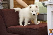 samoyed puppy posted by e21dgq6