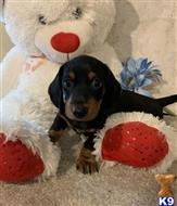 dachshund puppy posted by easterndip