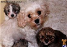 cavalier king charles spaniel puppy posted by Edwardswi