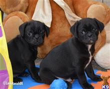 pug puppy posted by Edwardswi