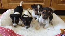 jack russell terrier puppy posted by ejmbqfuw