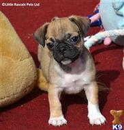 pug puppy posted by elaine2424