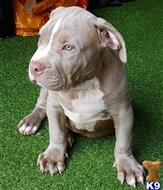 american staffordshire terrier puppy posted by ELITEBULLYSQUADUK