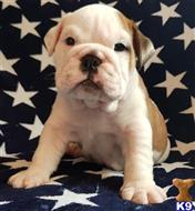 bulldog puppy posted by Ellenlouise87