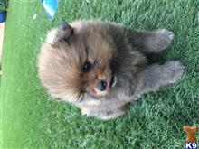 pomeranian puppy posted by Emargina123
