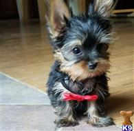 yorkshire terrier puppy posted by emiliajoseph38