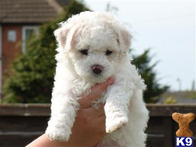Bichon Frise Puppies on Birmingham  United Kingdom Bichon Frise Puppies