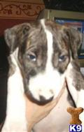 bull terrier puppy posted by english bull