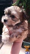 havanese puppy posted by Eurobichons