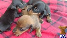 dachshund puppy posted by ewmainiend