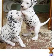 dalmatian puppy posted by fajewoj549