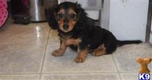dachshund puppy posted by faloncarine20