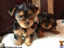 yorkshire terrier puppy posted by famiv30503