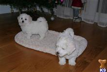 bichon frise puppy posted by faobbw0
