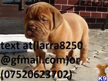 dogue de bordeaux puppy posted by fawiyas100