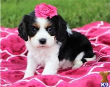 cavalier king charles spaniel puppy posted by faxax