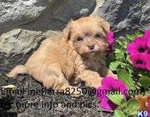 havanese puppy posted by fayacoy