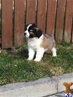 saint bernard puppy posted by federicamonic