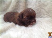 shih tzu puppy posted by femme37