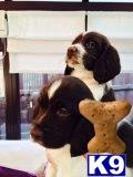 english springer spaniel puppy posted by Fernwood Springers
