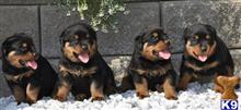 rottweiler puppy posted by fimyb9p