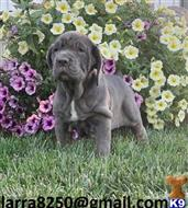 neapolitan mastiff puppy posted by fiwaho2233