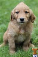 golden retriever puppy posted by flowrencejane