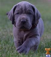 great dane puppy posted by fole cindy