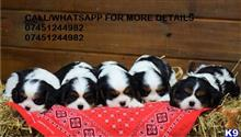 cavalier king charles spaniel puppy posted by francisdocumnets