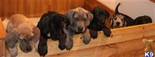 great dane puppy posted by gaynorquinlin