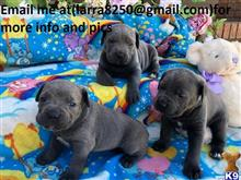 cane corso puppy posted by gegog74242